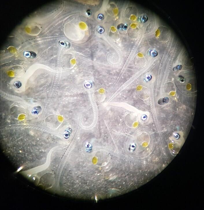 Ser du godt etter kan du se plommesekken til uerlarvene. Foto: MAREANO