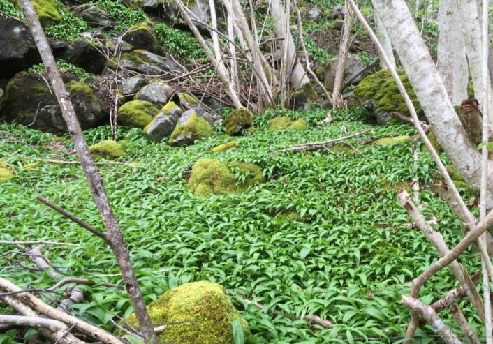 Ramsløken ligger som et grønt teppe i skogen. Bildet er tatt ved Fykse i Hardanger. (Foto: Rakel Blaalid)