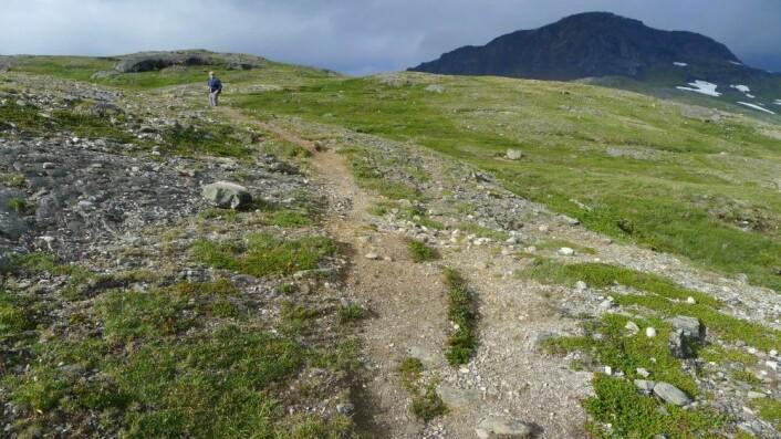 Dersom det oppstår slitasje på rabber i fjellet klarer ikke vegetasjonen å vokse opp igjen på svært lang tid. (Foto: Dagmar Hagen)