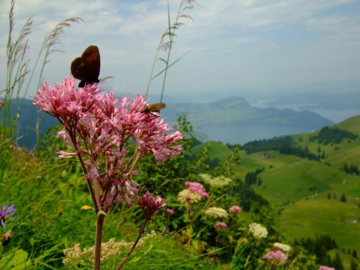 Sommerfugler, villbier, fluer, biller og andre insekter som ikke er honningbier er også viktige for pollinering - både av nytteplanter og villblomster. Foto: AS-T