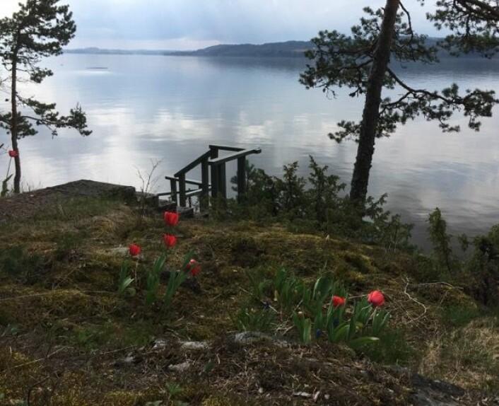 Tulipanene på hytta undret seg over alt vannet som strømmet så raskt sydover i dag. (Bilde: T. Wahl)