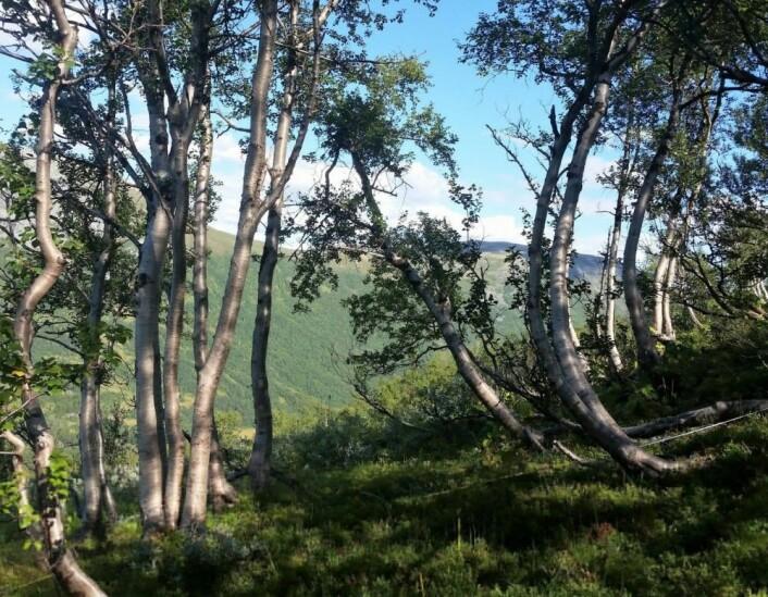Sabelbjørker. Sabelformede bjørker har tålt mange års hardt press fra snø i bratte bakker. (Foto: Jørn Olav Løkken)