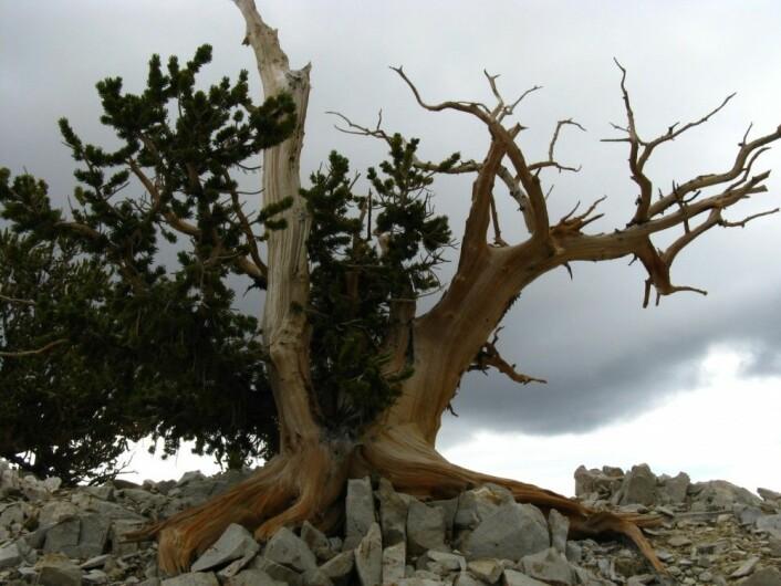 Metusalemfuru. Noen av de tøffeste og mest hardføre trærne i verden. (Foto: Joachim Töpper)