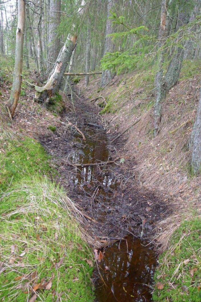 Når myra har blitt grøfta renner vannet ut av den. Den mister evnen til karbonlagring og forholdene endres slik at også trær kan etablere seg og vokse seg store. (Foto: Dagmar Hagen)