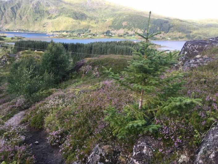 I Lofoten er plantasjene med fremmede bartrær store, og foryngelsen av småplanter er i gang. Vi observerte nye individer både i hei, skog og rasmark. Noen av de nyetablerte trærne er allerede flere meter høye. (Foto: Magni Olsen Kyrkjeeide)