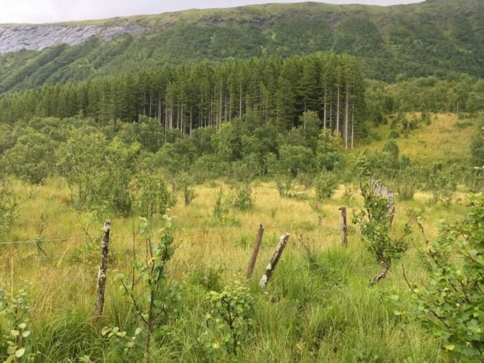 Norsk gran plantet langs kysten av Norge kan bruke lang tid på å vokse. Disse trærne ble plantet utenfor Bodø på begynnelsen av 1900-tallet og er ennå ikke hogd. (Foto: Magni Olsen Kyrkjeeide)