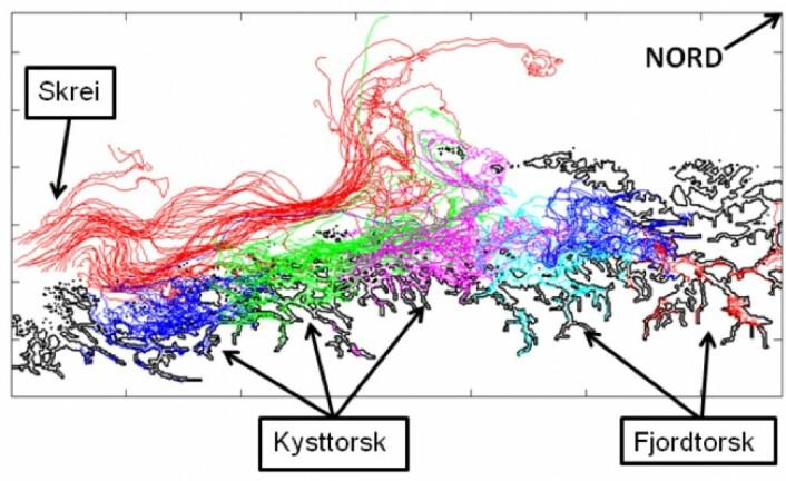 Transport av torskeegg langs Helgelandskysten fra skrei (rødt), kysttorskbestander (blå, grønn, rosa) og fjordbestander (lyseblå, rød)(Kart: M.S. Myksvoll et.al. 2013 / Havforskningsinstituttet)