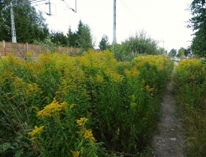Kanadagullris, som sprer seg lett langs vei og jernbane, er en av de mange skadelige fremmede planteartene i Norge. (Foto: Siri Lie Olsen)