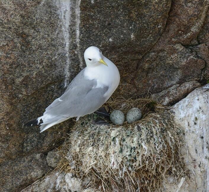 Som de fleste måseartene, legger krykkjer 1–3 egg som ruges kontinuerlig i nesten 4 uker.<br>(Foto: Rob Barrett.)