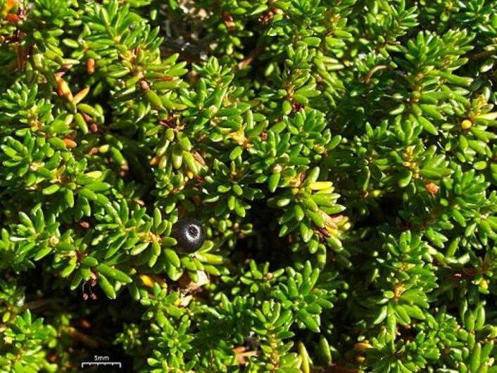 Kreklingen er ikke så fredelig som den ser ut. For å hindre at andre planter skal komme for nær, skiller den ut stoffer som virker hemmende på vekst og frøspiring. Det er en av grunnene til at den kan dominere over store arealer. (Foto: Jason Hollinger, CC SA-BY 2.0)