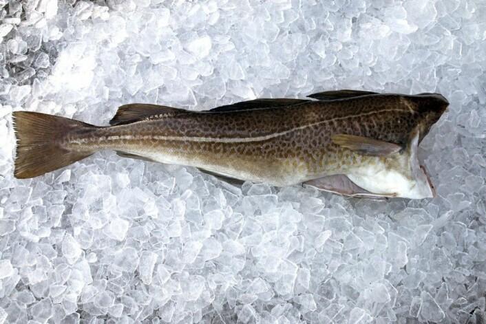 Slik skal fisk oppbevares for å holde seg god lengst mulig - på is. (Foto: Sjurdur Joensen, Nofima)
