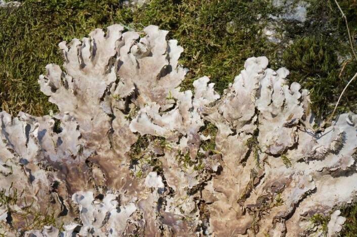 Krig i sakte film. Her ses en bladlav i aggressivt frammarsj og i ferd med å overvokse en mose. Kampen om lyset er liv eller død for disse artene. (Foto: Anders L. Kolstad, NTNU Vitenskapsmuseet CC BY-SA 4.0)