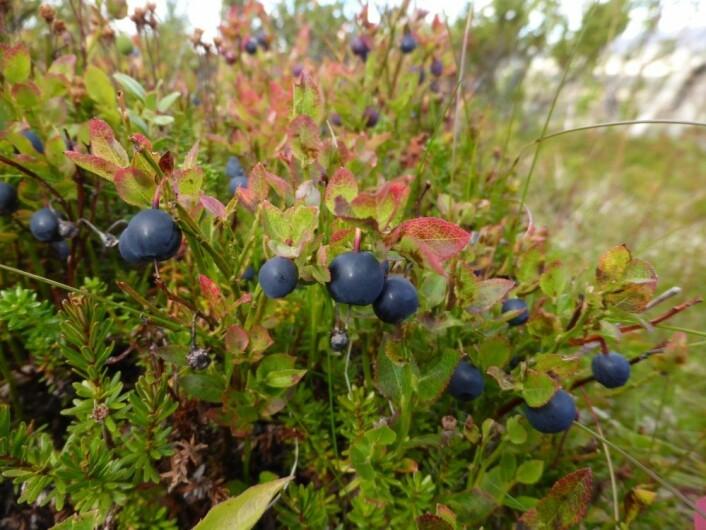 Alle liker blåbær – men hvor viktige er egentlig humler og andre insekter for at vi får fylt bærbøtta? (Foto: Siri Lie Olsen)