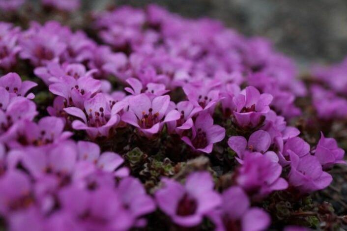 Rødsildre (Saxifraga oppositifolia) kan vokse som tette tuer og blomster gjerne veldig rikt tidlig om våren. Denne formen av arten har alltid to sett med komplimentært DNA. Foto: Anders L. Kolstad NTNU Vitenskapsmuseet CC BY-SA 4.0.