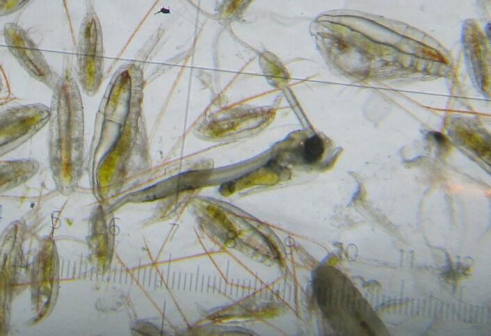 Raudåte, krillegg, krepsdyrlarver og torskelarve sett i lupe. Grønne mager viser at de har spist planteplankton. (Foto: Ragni Olssøn, Havforskninginstituttet)