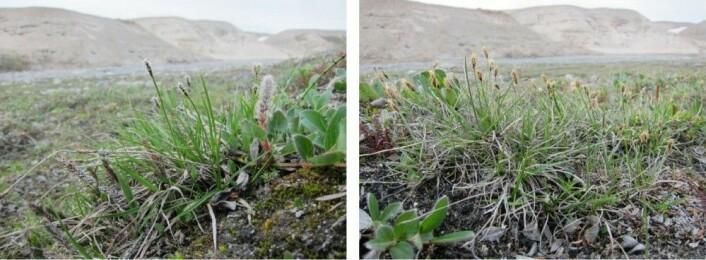 Grønlandsstarr har egne hunn- og hannplanter. Her vokser de på Nordøst-Grønland, i verdens største nasjonalpark. (Foto: Kristine Bakke Westergaard)