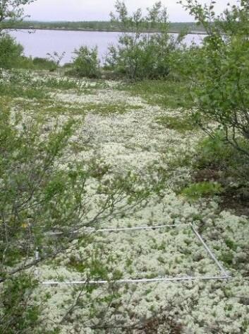 Lav-bjørkeskog på Finnmarksvidda. En vegetasjonsrute er lagt klar for å bli analysert. (Foto: Jarle W. Bjerke)