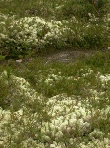 Laven kvitkrull bugner i områder med lite til moderat beite. Her vokser den innimellom busker av finnmarkspors. (Foto: Jarle W. Bjerke)