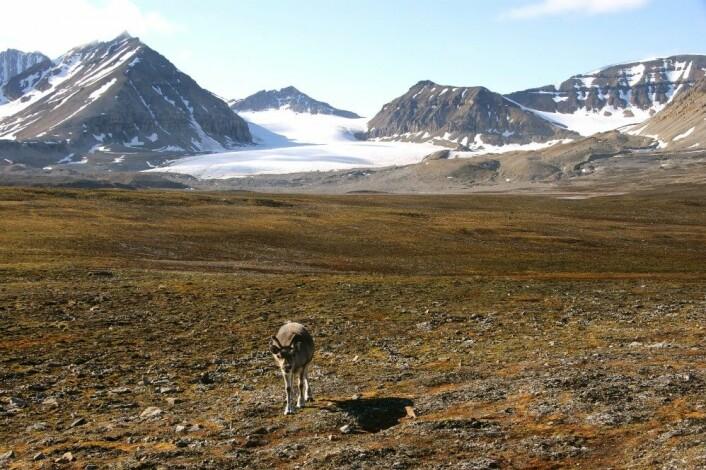 Ingen lav å se: tundraen rundt Ny-Ålesund (Kongsfjorden, Spitsbergen) hadde en gang et tett lavdekke, men en kraftig økning i antall rein fram til 1993 førte til at nærmest all lav ble beitet bort. Nå finnes reinlav kun som små individer gjemt i sprekker og i tuer av kantlyng og andre planter. (Foto: Jarle W. Bjerke)