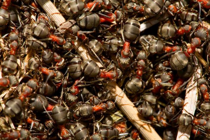Maur finner fram inni tua ved hjelp av lukter. Foto: Shutterstock.