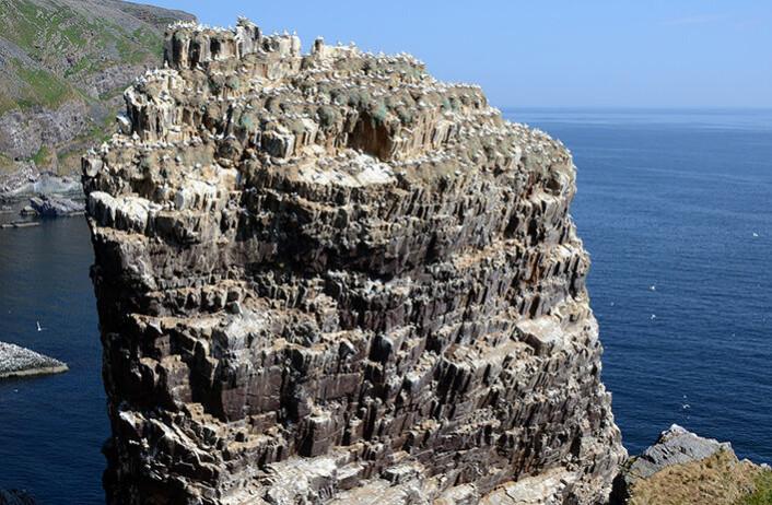 Den første nordnorske kolonien ble etablert på toppen av Syltefjordstauren i 1961. Da var det titusenvis av lomvi og krykkjer i fjellsiden. Mens havsulen holder stand er det noen få krykkje igjen.Lomvien er helt borte. (Foto Rob Barrett)