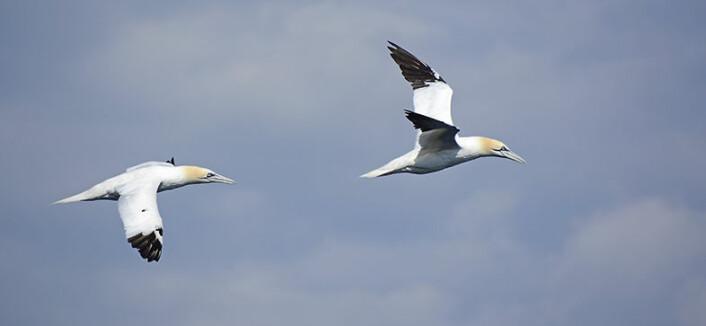 Med et vingespenn på 2 meter og en vekt på 3–3,5 kilo er havsulen den største av alle sjøfuglene i Norge. (Foto: Rob Barrett)