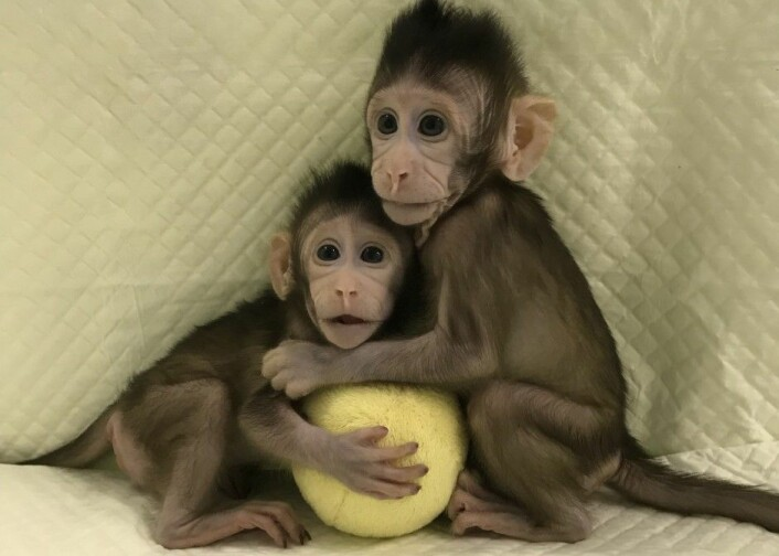 Med Zhong Zhong og Hua Hu er verdens første klonede pattedyr en realitet. (Foto: Qiang Sun and Mu-ming Poo, Chinese Academy of Sciences)