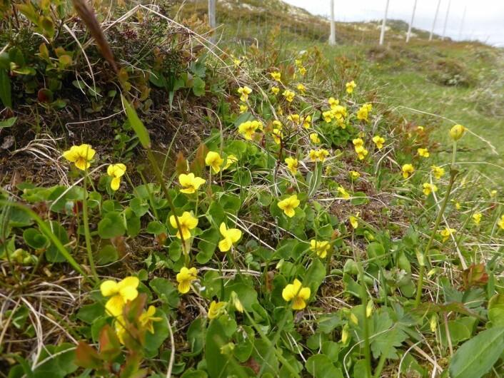 Fjellfiol er vår eneste viltvoksende gule fiol. (Foto: Siri Lie Olsen)