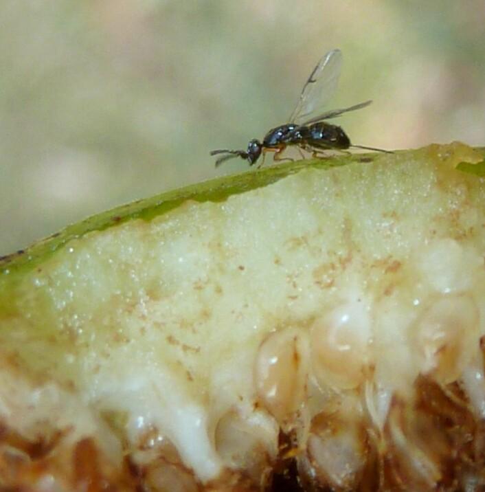 En hunn av fikenvepsen <em>Ceratosolen capensis</em>på utsiden av en fikenfrukt. Foto: Jan Celliers Park