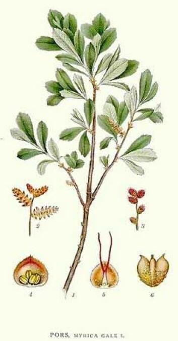 Pors (Mycae gale). (Illustrasjon: Carl Axel Magnus Lindman / Wikimedia Commons)