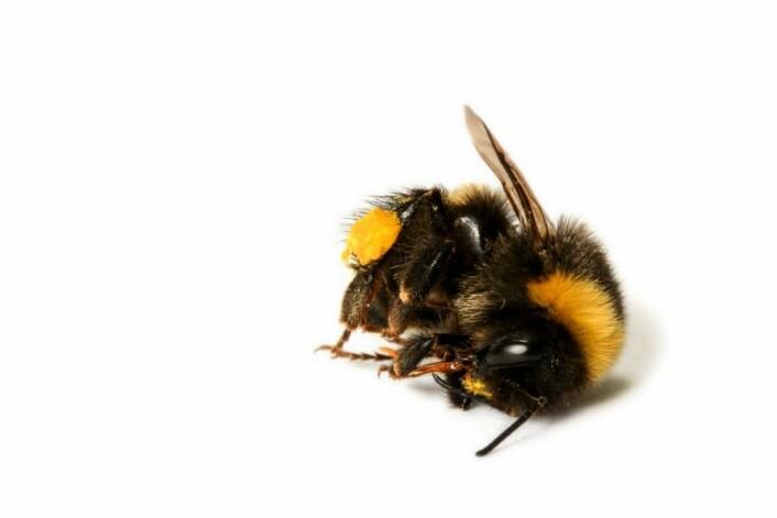 I Tyskland er mengden flyvende insekter, målt som biomasse, nå bare en fjerdedel av hva den var for 27 år siden. (Foto: Shutterstock)