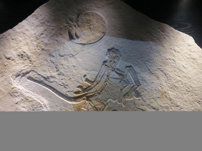 Archaeopteryx. Fugl og dinosaur. Klassisk! Foto: LLD