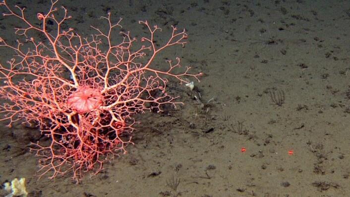 Den nydelige mangearmede slangestjernen medusahode (Gorgonocephalus) lyser opp den brune havbunnen på 950m dyp. Foto: Mareano/Havforskningsinstituttet