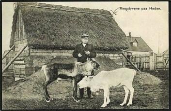 Johannes Bech med reinsdyr i innhegningen ved Fredriks stasjon. Samtidig dansk postkort. (Etter original på Viborg Lokalhistorisk Arkiv)