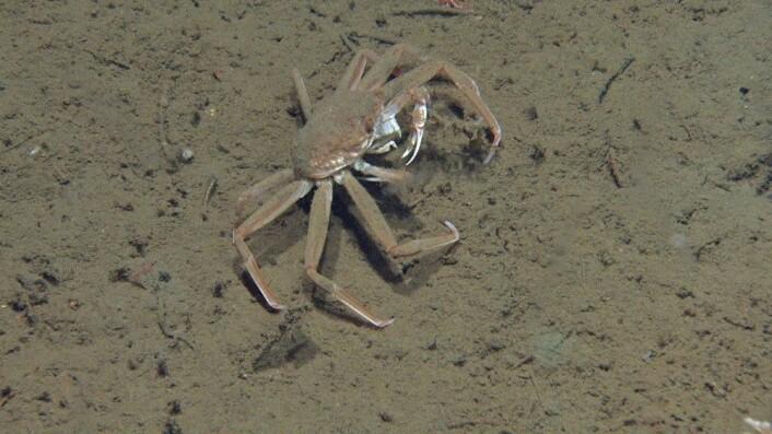 Figur 9: Snøkrabbe. Foto: MAREANO/Havforskningsinstituttet