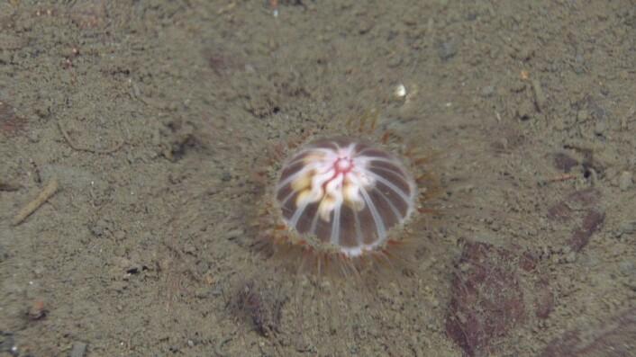 Figur 7: Den bunnlevende maneten Ptycogastria polaris, er en arktisk kjenning som vi treffer hyppigere etter som vi kommer lengre nord. Foto: MAREANO/Havforskningsinstituttet