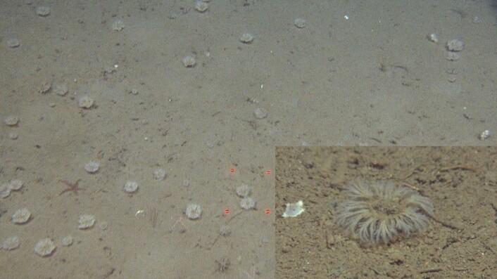 Figur 4: I sentralbankenrenna observerte vi et kransformet mosdyr med bevegelige greiner. Denne opptrådte i store tettheter lokalt. Vi har enda ikke klart å sette navn på dette dyret, men vi holder utkikk etter den i prøvene som vi tar med grabb og bomtrål. Foto: MAREANO/Havforskningsinstituttet
