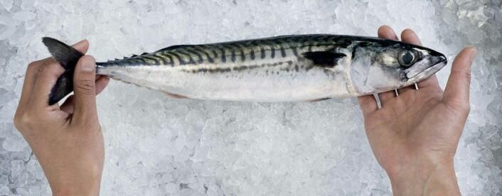 Makrell - en skikkelig spreking, som svømmer for livet. (Foto: Jan Inge Haga © Nofima)