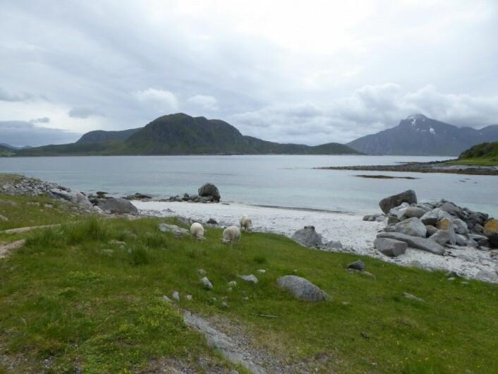 Grønt gress med arter som indikerer eng, men er det havet, sauene eller noe annet som holder det åpent? Uttakleiv i Lofoten. HAU
