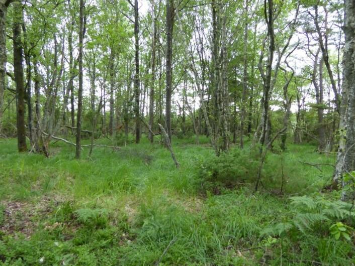 Skog eller eng i gjengroing? Lik alder på trærne betyr ofte gjengroing, og i dette tilfellet støttes det av at det like ved lå en gammel gård. Vesterøy, Hvaler. HAU