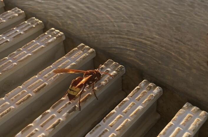 Et insekt? Ja, men også en levende, flyvende solcelle! Foto: Anne S-T