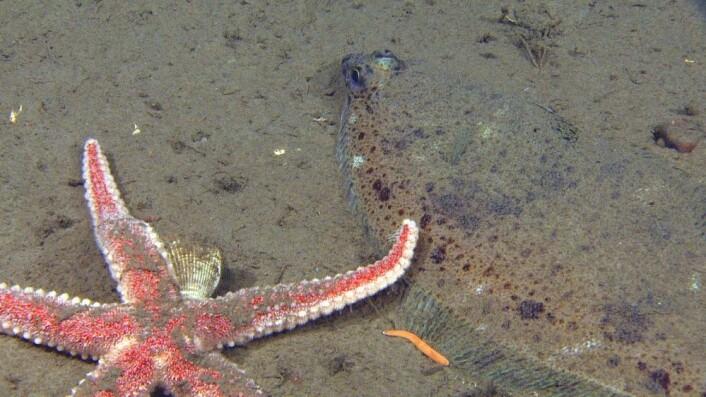 """Til tross for de daglige ville slosskampene mellom stor og liten på havets bunn, har vi også filmet en og annen stille idyll. På 250 meters dyp gir ei flott sjøstjerne en gapeflyndre et vennlig """"klapp på skulderen"""", bevitnet av en gul liten slimorm. Foto: Mareano/Havforskningsinstituttet"""