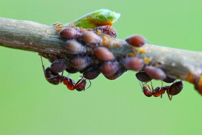 <em>Maurene beføler bladlusene og får sine dråper med sukkervann.</em>(Foto: Yaroslav Antonov / Shutterstock / NTB scanpix)