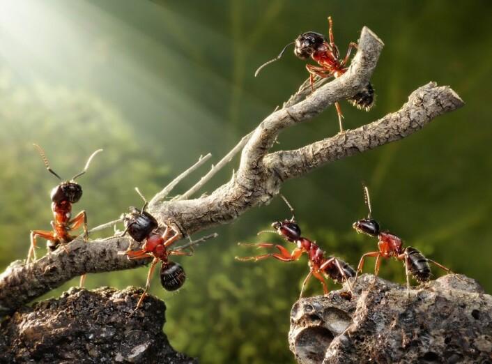 <em>Milliarder av maur vandrer rundt i skog og eng.</em>(Foto: Colourbox)