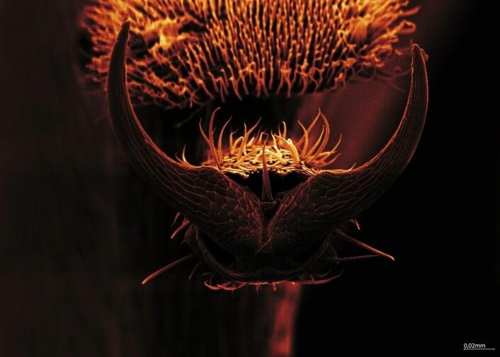 Soppmarihønens fot sett med elektronmikroskop – ber den om haik mon tro? Foto: Rannveig M. Jacobsen