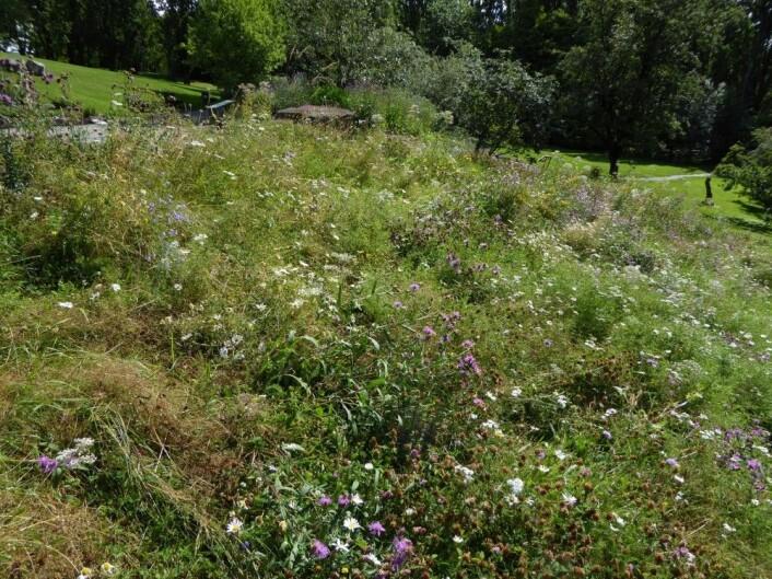 Blomsterenga i Botanisk hage i Oslo. Kan enga i hagen vår bli like fin? Foto: HAU