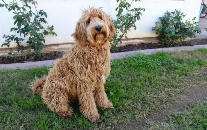 Blanding av labrador og puddel, også kjent som labradoodle. (Foto: CC0, via Pixabay)