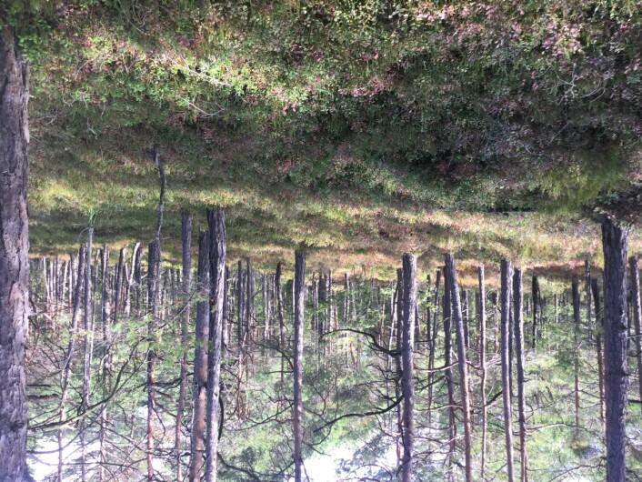 """Bærlyngskog, """"en sliten kartleggers drøm"""", fordi det er lett å kartlegge og lett å gå i. Foto: Eva L. Eriksen"""