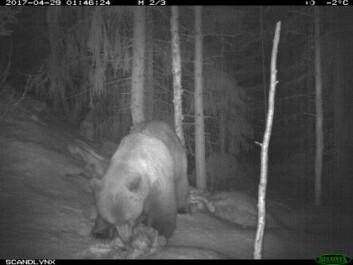 "Det ser ut til at bjørnen har påvirket utviklingen i saueholdet i Trysil i langt større grad enn ulven (Foto: <a href=""http://viltkamera.nina.no/"">viltkamera.nina.no</a>)"