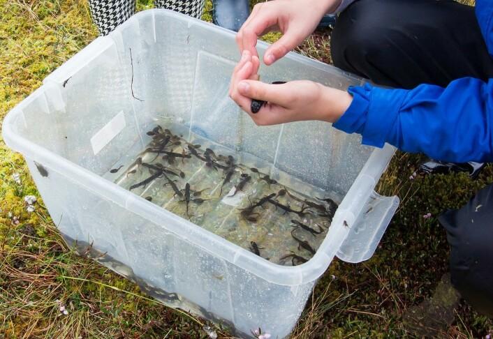 Alle elevgruppene fikk stor fangst. (Foto: Børre K. Dervo ©)